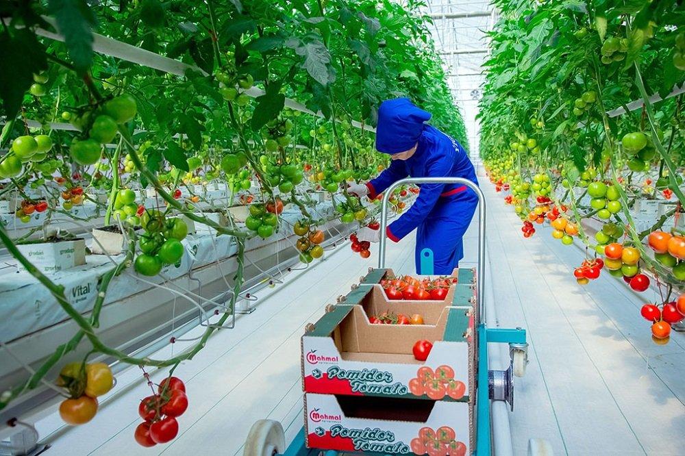 В Ахале ввели крупный тепличный комплекс для выращивания томатов