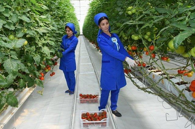 В Марыйском регионе Туркменистана возвели тепличный комплекс