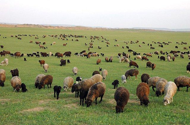 Учёные из Туркменистана займутся генетическим улучшением каракульских овец