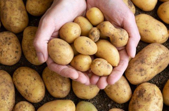 В Дашогузском велаяте Туркменистана собрано порядка 20 тысяч тонн картофеля