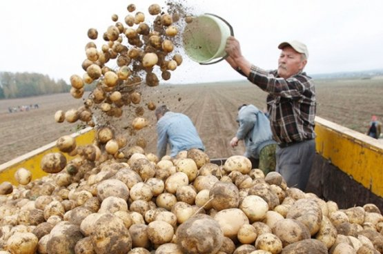 В планах Кабмина Беларуси за год собрать 5,8 млн тонн картофеля и 1,8 млн тонн овощей